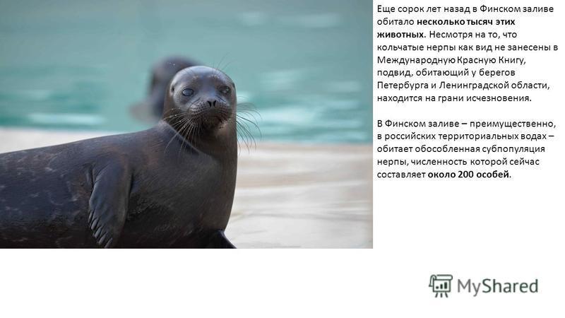Еще сорок лет назад в Финском заливе обитало несколько тысяч этих животных. Несмотря на то, что кольчатые нерпы как вид не занесены в Международную Красную Книгу, подвид, обитающий у берегов Петербурга и Ленинградской области, находится на грани исче