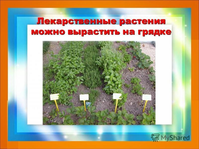 Лекарственные растения можно вырастить на грядке