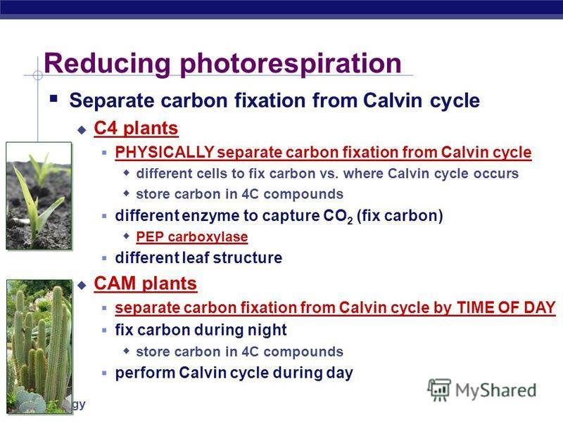 AP Biology Impact of Photorespiration Oxidation of RuBP short circuit of Calvin cycle loss of carbons to CO 2 can lose 50% of carbons fixed by Calvin cycle reduces production of photosynthesis no ATP (energy) produced no C 6 H 12 O 6 (food) produced