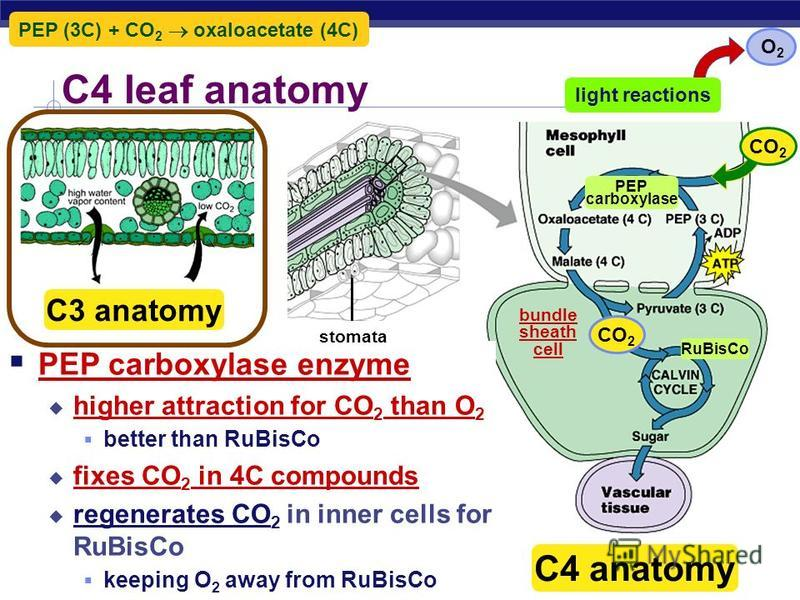 AP Biology Comparison Light intensity is directly related to temperature C4 Plants (CAM and C4 Pathway) are able to do more photosynthesis at high temperatures