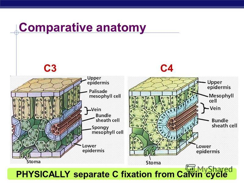 AP Biology C4 leaf anatomy PEP (3C) + CO 2 oxaloacetate (4C) CO 2 O 2 light reactions C4 anatomy C3 anatomy PEP carboxylase enzyme higher attraction for CO 2 than O 2 better than RuBisCo fixes CO 2 in 4C compounds regenerates CO 2 in inner cells for