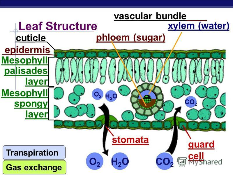 AP Biology Review: C3 Photosynthesis During regular photosynthesis, CO 2 is trapped into a 3- carbon compound by Rubisco C3 Photosynthesis This 3 carbon compound then goes through the calvin cycle to produce glucose (eventually)