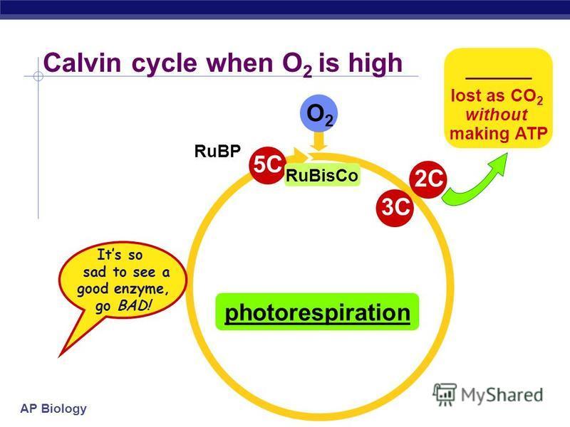 AP Biology 6C unstable intermediate 1C CO 2 Calvin cycle when CO 2 is abundant 5C RuBP 3C ADP ATP 3C NADP NADPH ADP ATP T3P to make glucose 3C G3P 5C RuBisCo C3 plants