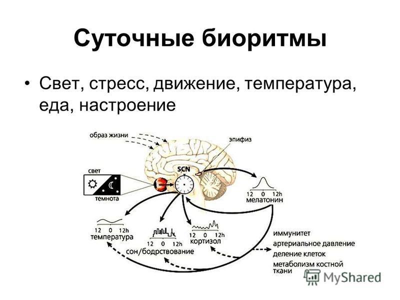 Суточные биоритмы Свет, стресс, движение, температура, еда, настроение