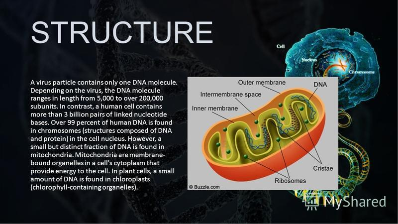 STRUCTURE A virus particle contains only one DNA molecule. Depending on the virus, the DNA molecule ranges in length from 5,000 to over 200,000 subunits. In contrast, a human cell contains more than 3 billion pairs of linked nucleotide bases. Over 99