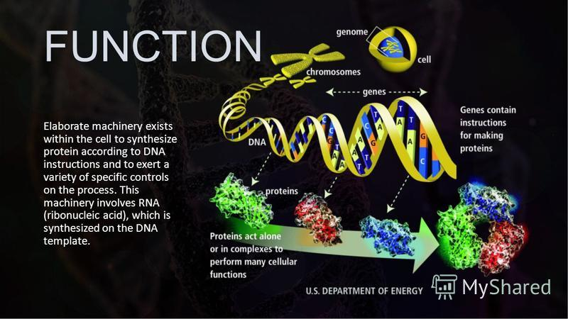 FUNCTION Elaborate machinery exists within the cell to synthesize protein according to DNA instructions and to exert a variety of specific controls on the process. This machinery involves RNA (ribonucleic acid), which is synthesized on the DNA templa