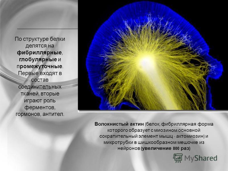 По структуре белки делятся на фибриллярные, глобулярные и промежуточные. Первые входят в состав соединительных тканей, вторые играют роль ферментов, гормонов, антител. Волокнистый актин ( белок, фибриллярная форма которого образует с миозином основно