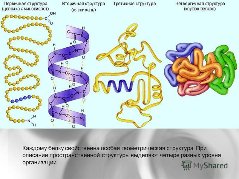 Каждому белку свойственна особая геометрическая структура. При описании пространственной структуры выделяют четыре разных уровня организации.