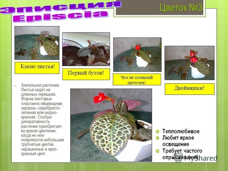 Цветок 3 o Ампельное растение. Листья сидят на длинных черешках. Форма листовых пластинок яйцевидная, окраска серебристо- зеленая или медно- красная. Особую декоративность растение приобретает во время цветения, когда не нем появляются небольшие труб