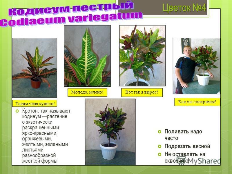 Цветок 4 Кротон, так называют кодиеум растение с экзотически раскрашенными ярко-красными, оранжевыми, желтыми, зелеными листьями разнообразной жесткой формы Поливать надо часто Подрезать весной Не оставлять на сквозняке Таким меня купили! Молодо, зел