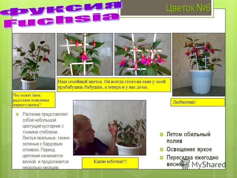 Цветок 6 Растение представляет собой небольшой цветущий кустарник с тонкими стеблями. Листья овальные, темно- зеленые с бардовым отливом. Период цветения начинается весной и продолжается несколько месяцев. Летом обильный полив Освещение яркое Пересад