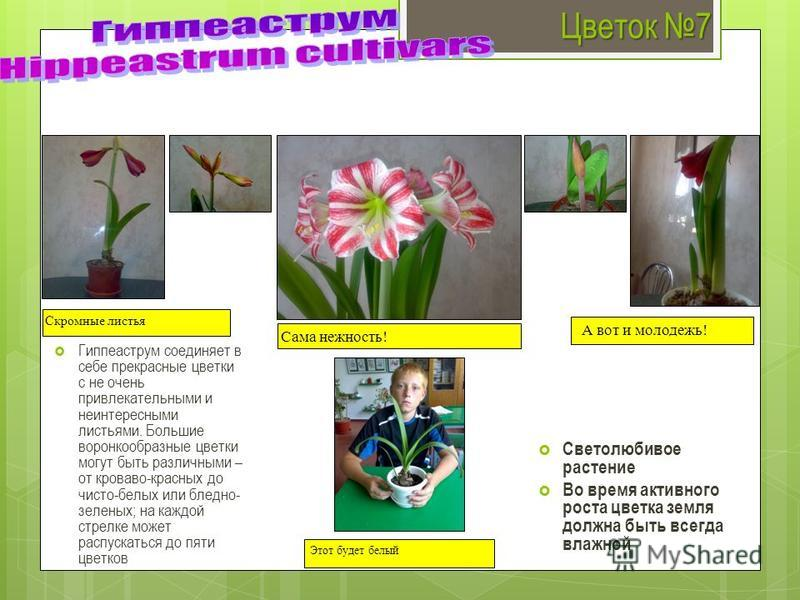 Цветок 7 Гиппеаструм соединяет в себе прекрасные цветки с не очень привлекательными и неинтересными листьями. Большие воронкообразные цветки могут быть различными – от кроваво-красных до чисто-белых или бледно- зеленых; на каждой стрелке может распус