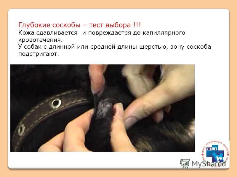 Глубокие соскобы – тест выбора !!! Кожа сдавливается и повреждается до капиллярного кровотечения. У собак с длинной или средней длины шерстью, зону соскоба подстригают.