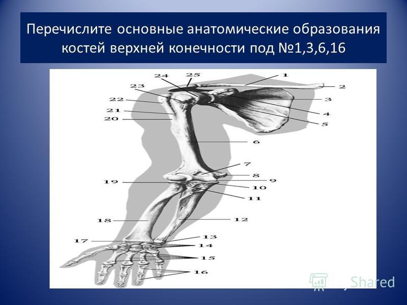 Перечислите основные анатомические образования костей верхней конечности под 1,3,6,16