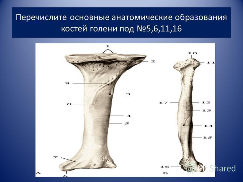 Перечислите основные анатомические образования костей голени под 5,6,11,16