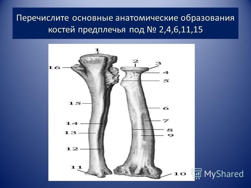 Перечислите основные анатомические образования костей предплечья под 2,4,6,11,15
