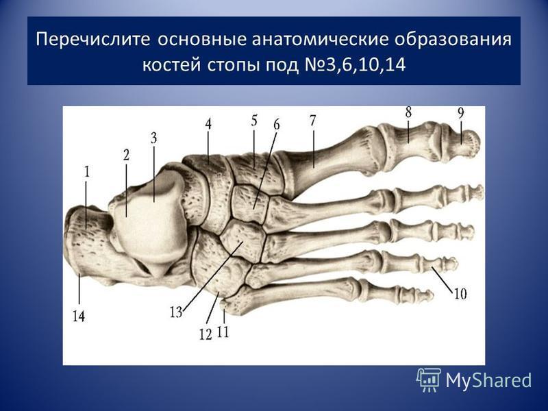 Перечислите основные анатомические образования костей стопы под 3,6,10,14