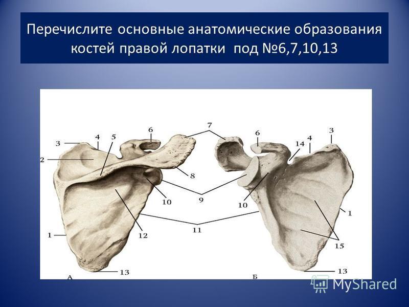 Перечислите основные анатомические образования костей правой лопатки под 6,7,10,13