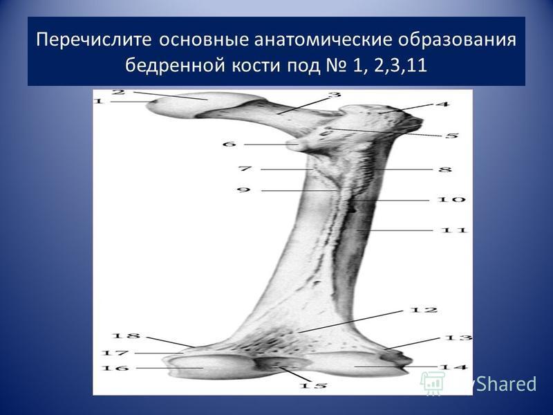 Перечислите основные анатомические образования бедренной кости под 1, 2,3,11