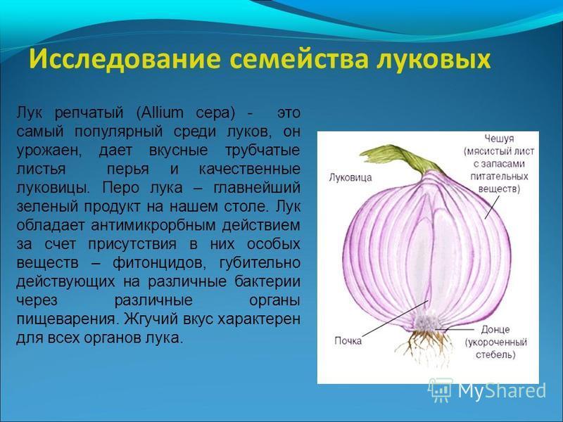 Лук репчатый (Allium cepa) - это самый популярный среди луков, он урожаен, дает вкусные трубчатые листья перья и качественные луковицы. Перо лука – главнейший зеленый продукт на нашем столе. Лук обладает антимикробным действием за счет присутствия в