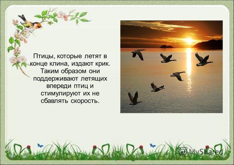 Птицы, которые летят в конце клина, издают крик. Таким образом они поддерживают летящих впереди птиц и стимулируют их не сбавлять скорость.