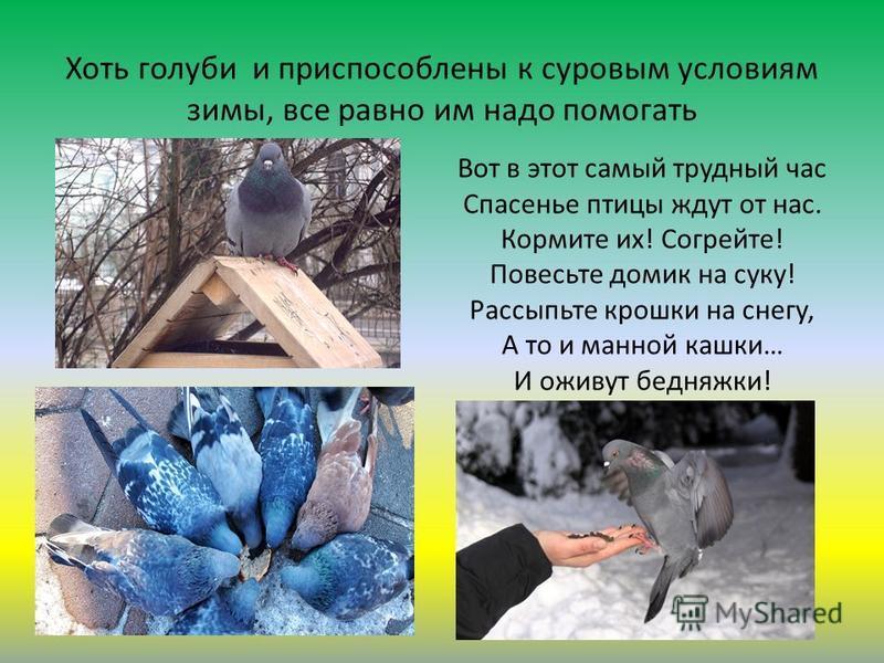 Хоть голуби и приспособлены к суровым условиям зимы, все равно им надо помогать Вот в этот самый трудный час Спасенье птицы ждут от нас. Кормите их! Согрейте! Повесьте домик на суку! Рассыпьте крошки на снегу, А то и манной кашки… И оживут бедняжки!