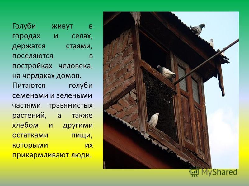 Голуби живут в городах и селах, держатся стаями, поселяются в постройках человека, на чердаках домов. Питаются голуби семенами и зелеными частями травянистых растений, а также хлебом и другими остатками пищи, которыми их прикармливают люди.