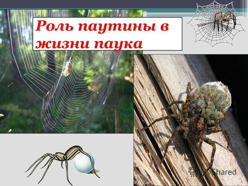 Роль паутины в жизни паука