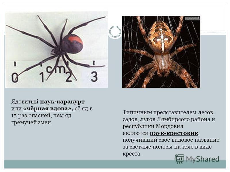 Типичным представителем лесов, садов, лугов Лямбирсого района и республики Мордовия являются паук-крестовик, получивший своё видовое название за светлые полосы на теле в виде креста. Ядовитый паук-каракурт или «чёрная вдова», её яд в 15 раз опасней,