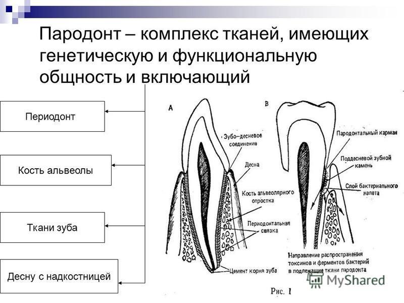 Пародонт – комплекс тканей, имеющих генетическую и функциональную общность и включающий Периодонт Ткани зуба Десну с надкостницей Кость альвеолы