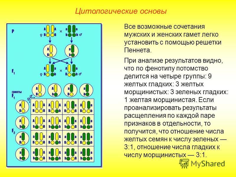 Цитологические основы Все возможные сочетания мужских и женских гамет легко установить с помощью решетки Пеннета. При анализе результатов видно, что по фенотипу потомство делится на четыре группы: 9 желтых гладких: 3 желтых морщинистых: 3 зеленых гла