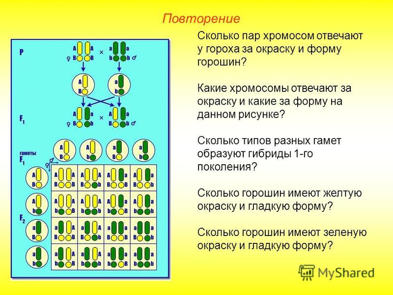 Повторение Сколько пар хромосом отвечают у гороха за окраску и форму горошин? Какие хромосомы отвечают за окраску и какие за форму на данном рисунке? Сколько типов разных гамет образуют гибриды 1-го поколения? Сколько горошин имеют желтую окраску и г