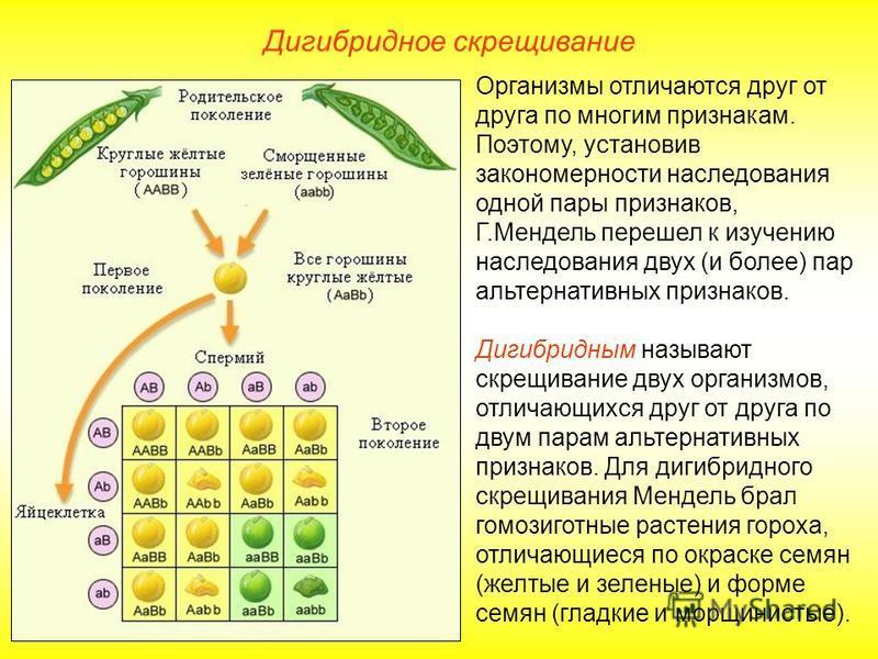Дигибридное скрещивание Организмы отличаются друг от друга по многим признакам. Поэтому, установив закономерности наследования одной пары признаков, Г.Мендель перешел к изучению наследования двух (и более) пар альтернативных признаков. Дигибридным на