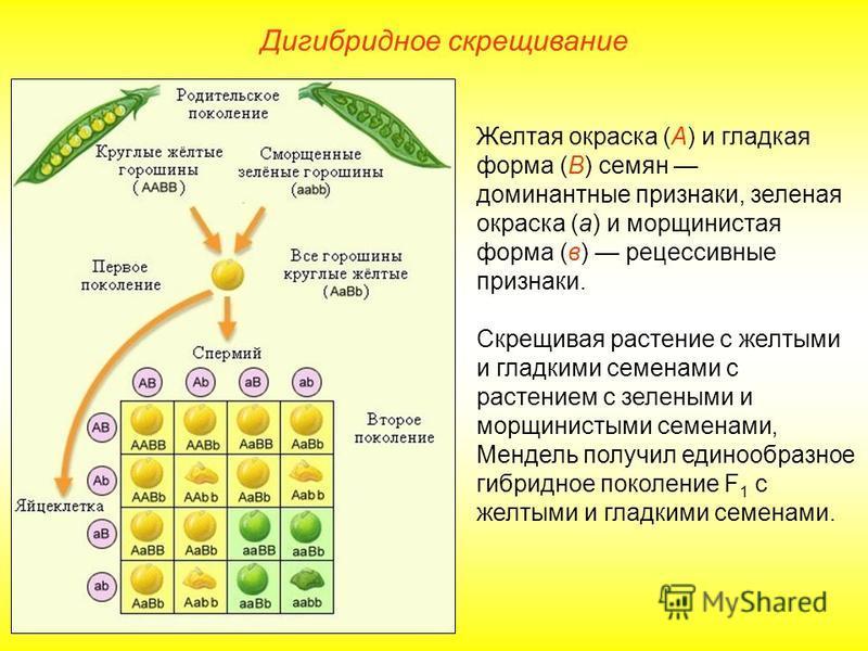 Дигибридное скрещивание Желтая окраска (А) и гладкая форма (В) семян доминантные признаки, зеленая окраска (а) и морщинистая форма (в) рецессивные признаки. Скрещивая растение с желтыми и гладкими семенами с растением с зелеными и морщинистыми семена
