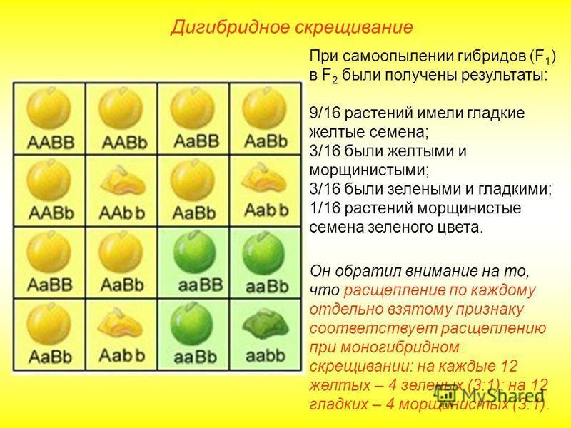 Дигибридное скрещивание При самоопылении гибридов (F 1 ) в F 2 были получены результаты: 9/16 растений имели гладкие желтые семена; 3/16 были желтыми и морщинистыми; 3/16 были зелеными и гладкими; 1/16 растений морщинистые семена зеленого цвета. Он о
