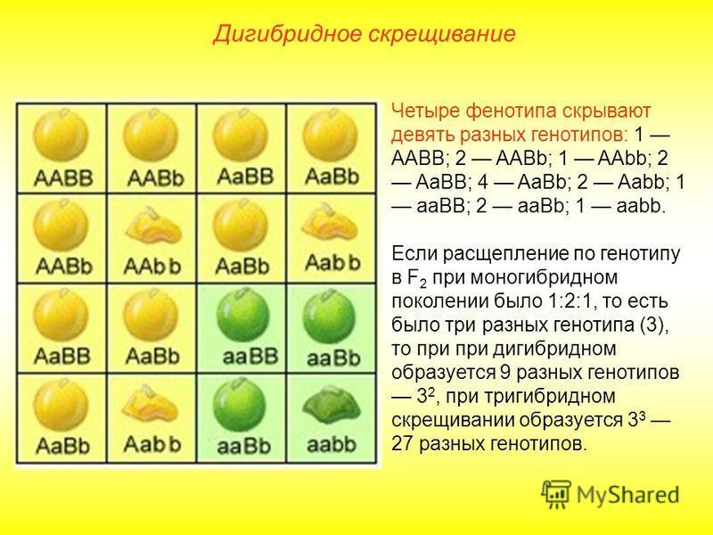 Дигибридное скрещивание Четыре фенотипа скрывают девять разных генотипов: 1 ААBB; 2 AABb; 1 AAbb; 2 AaBB; 4 AaBb; 2 Aabb; 1 aaBB; 2 aaBb; 1 aabb. Если расщепление по генотипу в F 2 при моногибридном поколении было 1:2:1, то есть было три разных генот