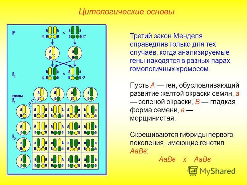 Цитологические основы Третий закон Менделя справедлив только для тех случаев, когда анализируемые гены находятся в разных парах гомологичных хромосом. Пусть А ген, обусловливающий развитие желтой окраски семян, а зеленой окраски, В гладкая форма семе