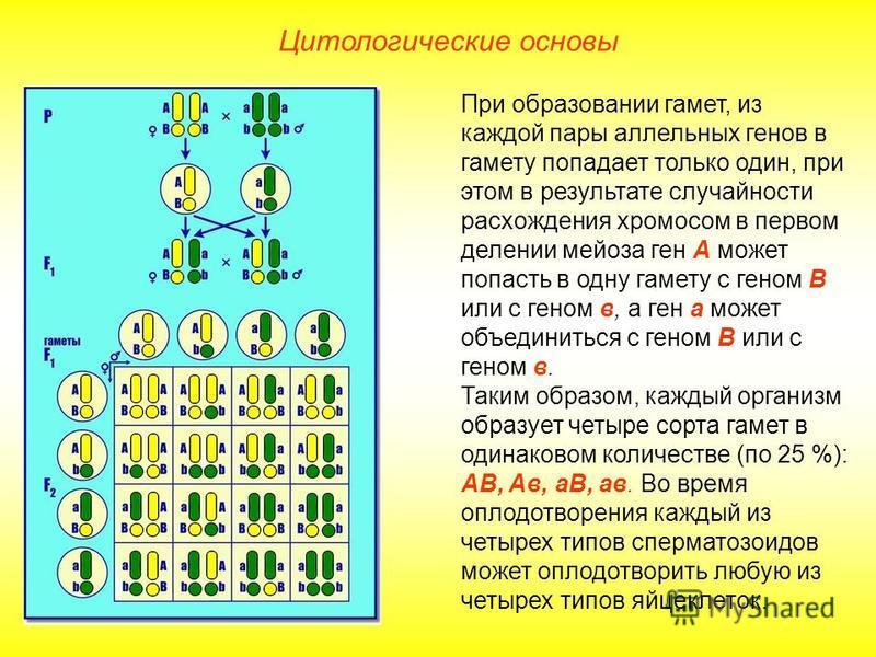 Цитологические основы При образовании гамет, из каждой пары аллельных генов в гамету попадает только один, при этом в результате случайности расхождения хромосом в первом делении мейоза ген А может попасть в одну гамету с геном В или с геном в, а ген