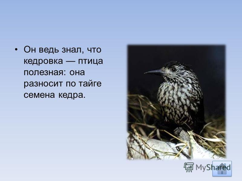 Он ведь знал, что кедровка птица полезная: она разносит по тайге семена кедра.