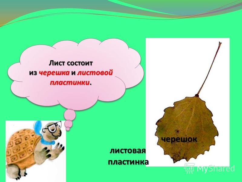 Лист состоит из черешка и листовой пластинки. черешок листовая пластинка черешок листовая пластинка