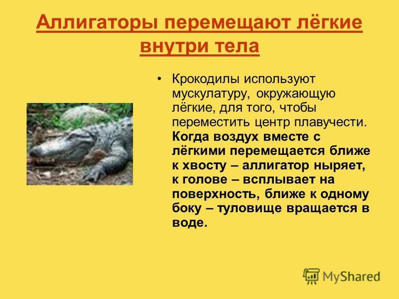 Аллигаторы перемещают лёгкие внутри тела Крокодилы используют мускулатуру, окружающую лёгкие, для того, чтобы переместить центр плавучести. Когда воздух вместе с лёгкими перемещается ближе к хвосту – аллигатор ныряет, к голове – всплывает на поверхно