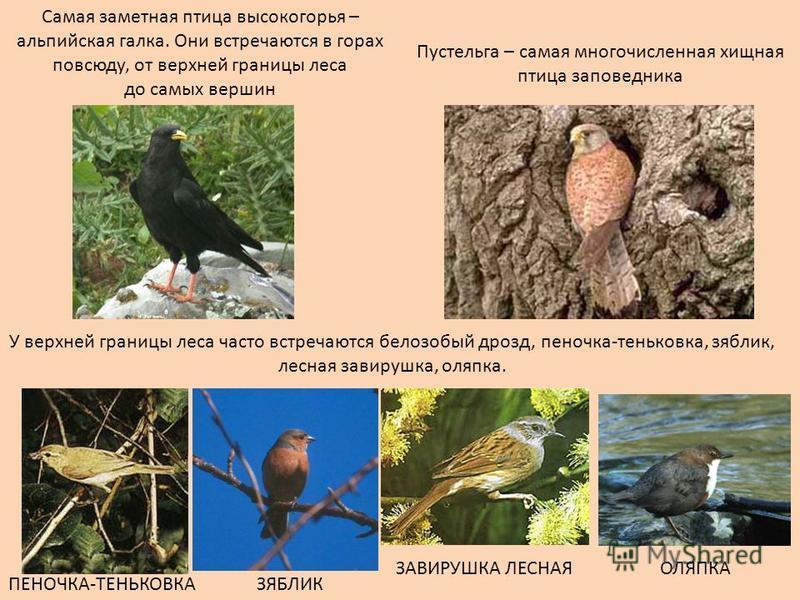 Самая заметная птица высокогорья – альпийская галка. Они встречаются в горах повсюду, от верхней границы леса до самых вершин Пустельга – самая многочисленная хищная птица заповедника У верхней границы леса часто встречаются белозобый дрозд, пеночка-