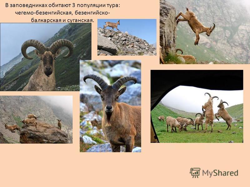 В заповедниках обитают 3 популяции тура: чегема-безенгийская, безенгийско- балкарская и луганская.
