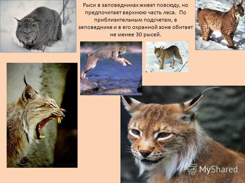 Рыси в заповедниках живет повсюду, но предпочитает верхнюю часть леса. По приблизительным подсчетам, в заповеднике и в его охранной зоне обитает не менее 30 рысей.
