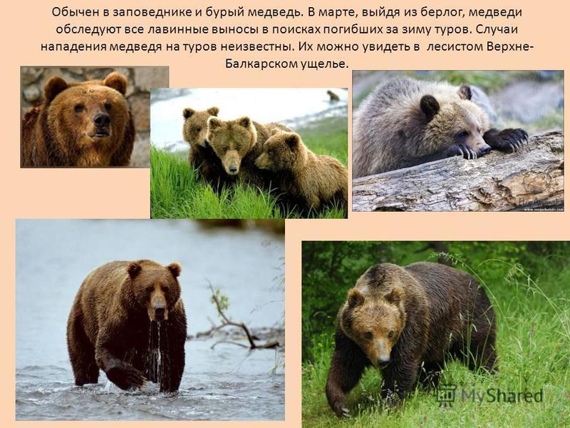 Обычен в заповеднике и бурый медведь. В марте, выйдя из берлог, медведи обследуют все лавинные выносы в поисках погибших за зиму туров. Случаи нападения медведя на туров неизвестны. Их можно увидеть в лесистом Верхне- Балкарском ущелье.