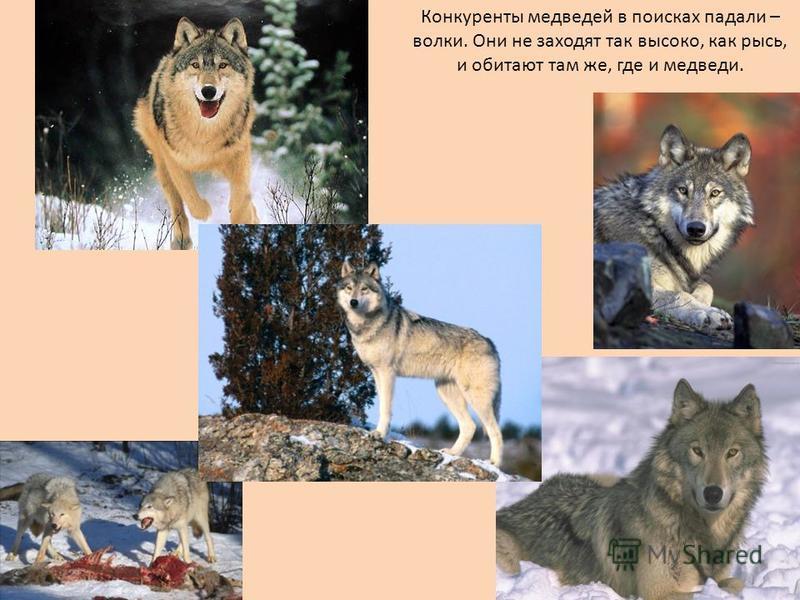 Конкуренты медведей в поисках падали – волки. Они не заходят так высоко, как рысь, и обитают там же, где и медведи.