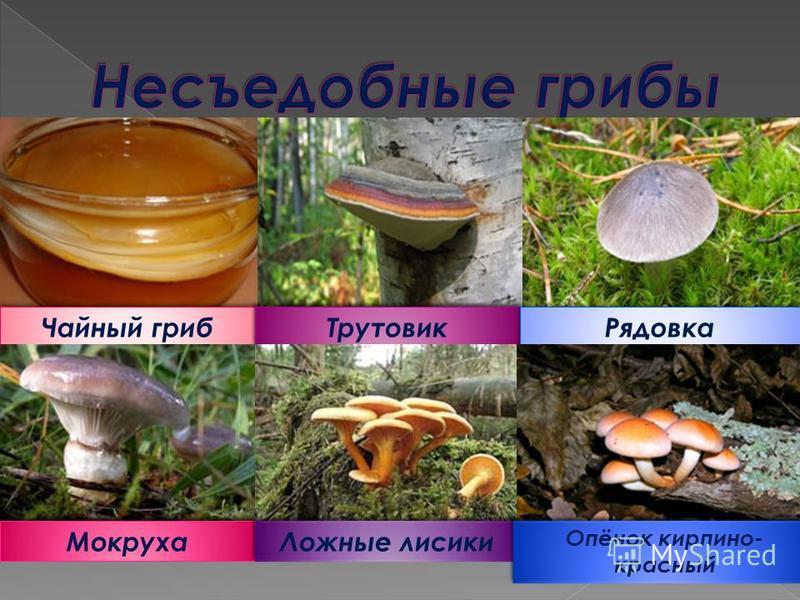 Чайный гриб Трутовик Рядовка Мокруха Ложные лисички Опёнок кирпичной- красный