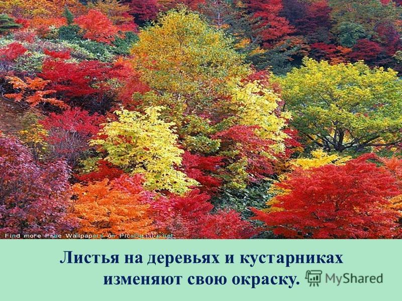 Листья на деревьях и кустарниках изменяют свою окраску.