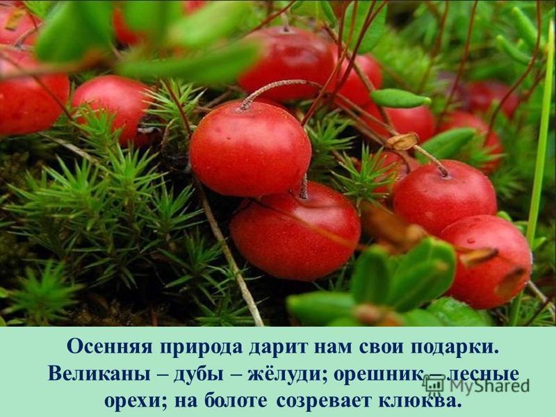 Осенняя природа дарит нам свои подарки. Великаны – дубы – жёлуди; орешник – лесные орехи; на болоте созревает клюква.