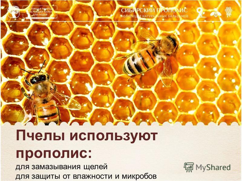Пчелы используют прополис: для замазывания щелей для защиты от влажности и микробов для защиты от сквозняков